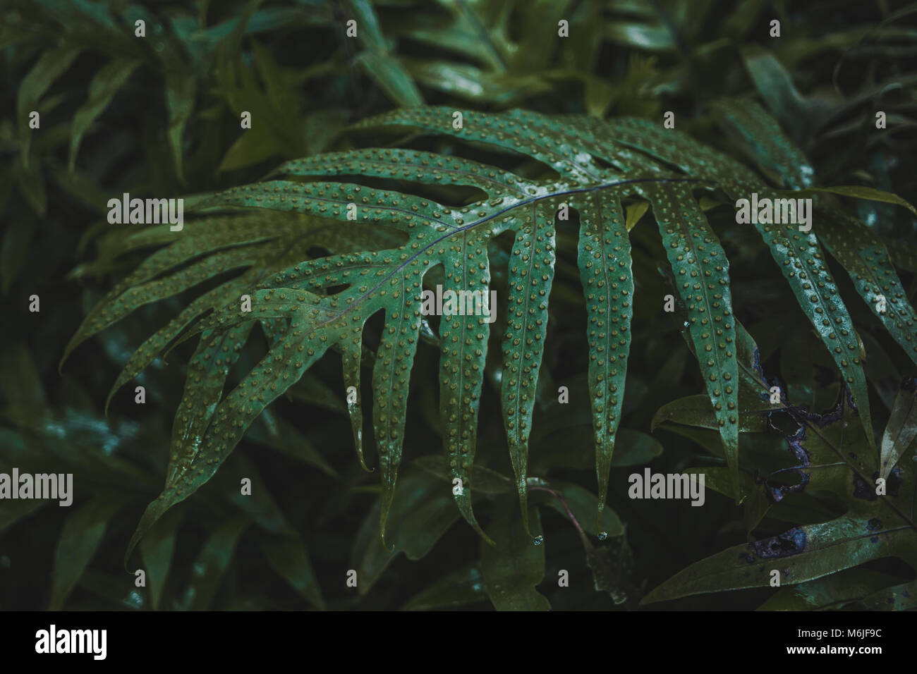 Green plant leaf with raised bumpy pores in a humid environment in Bolivia - Stock Image
