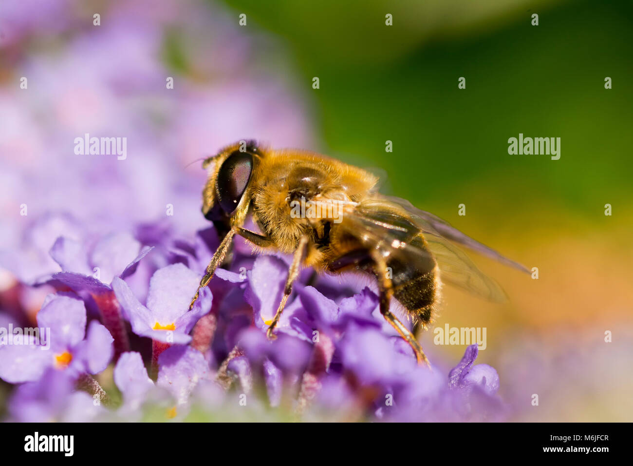 Close up of a Bee on a Buddleia. The details of this bee's compound eye are fascinating. - Stock Image