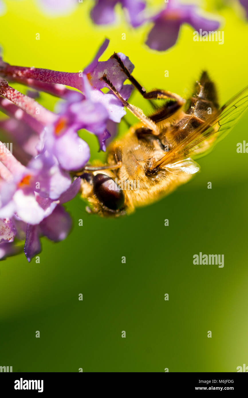 This bee was hanging upside down on a buddleia flower. - Stock Image
