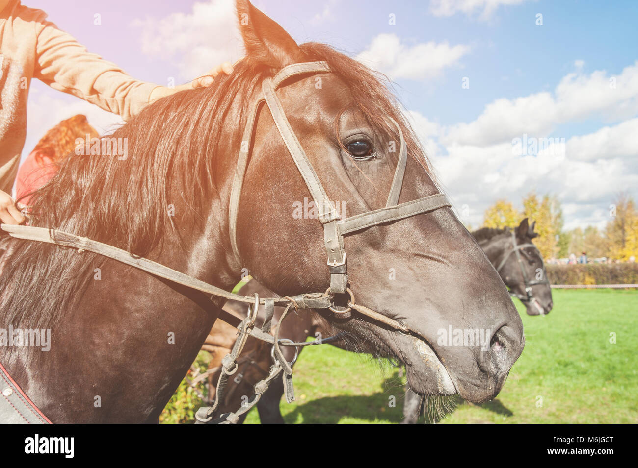 Head of Bay horse closeup in Sunny autumn day. Copy space. - Stock Image
