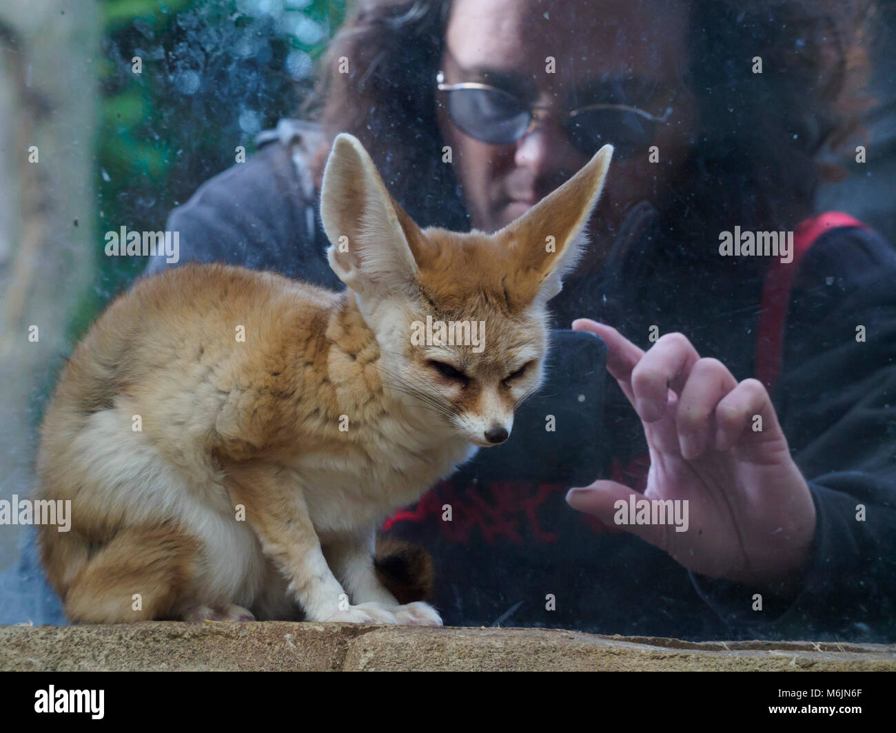 Five Sisters Zoo, near Livingston, Scotland. Visitor photographing a Fennec fox. - Stock Image