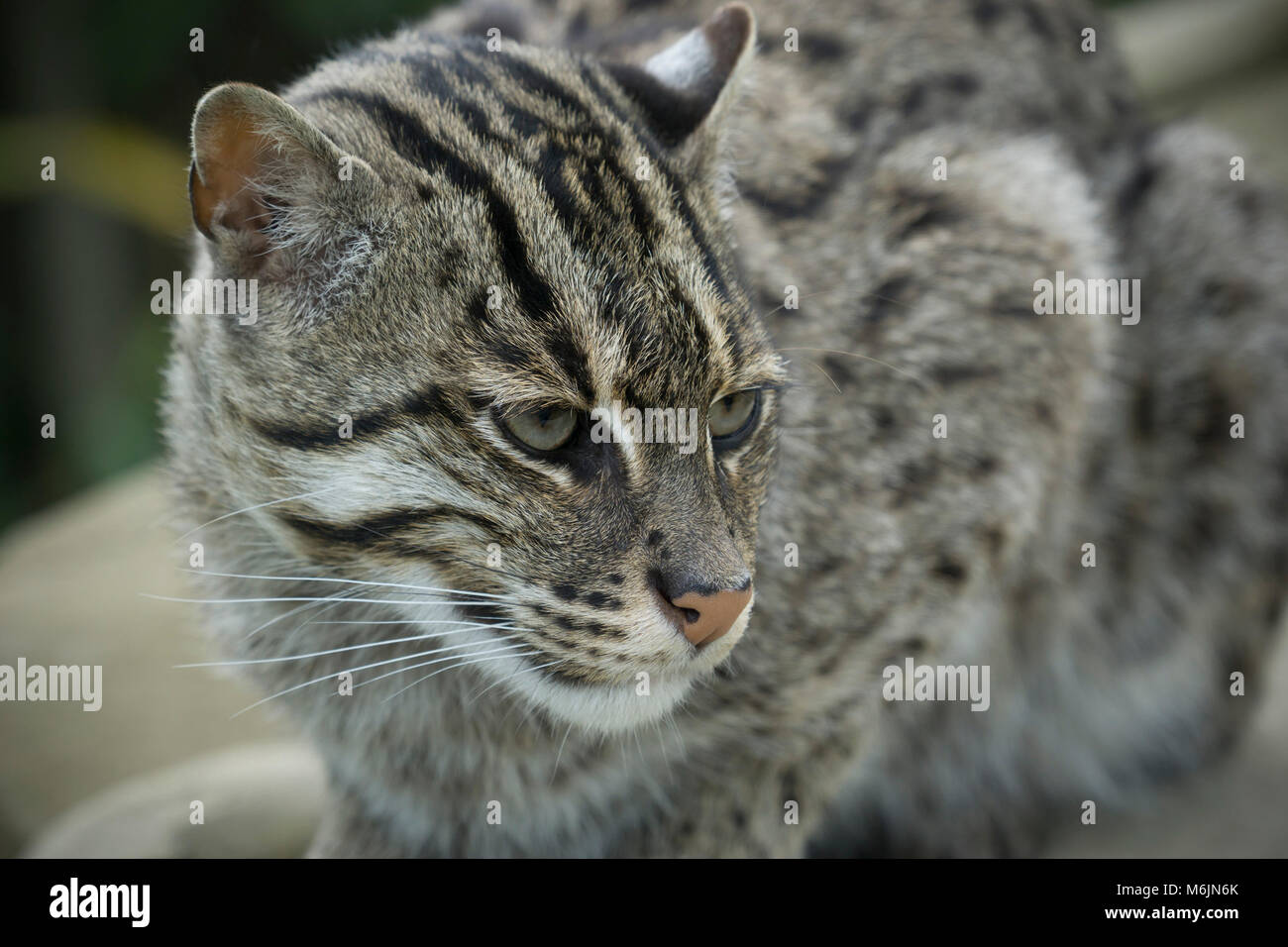 Scotland - Five Sisters Zoo, Polbeth, Livingston. Asian fishing cat, Prionailurus viverrinus. - Stock Image
