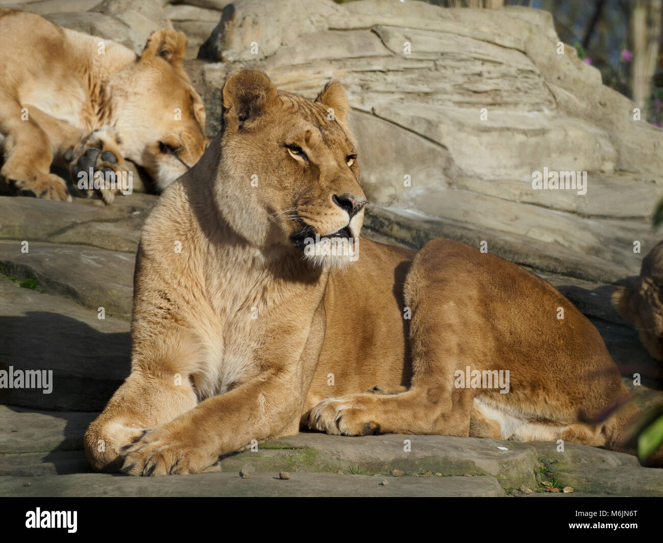 Five Sisters Zoo, near Livingston, Scotland. Rescued lionesses relax in the sun on rocks. - Stock Image