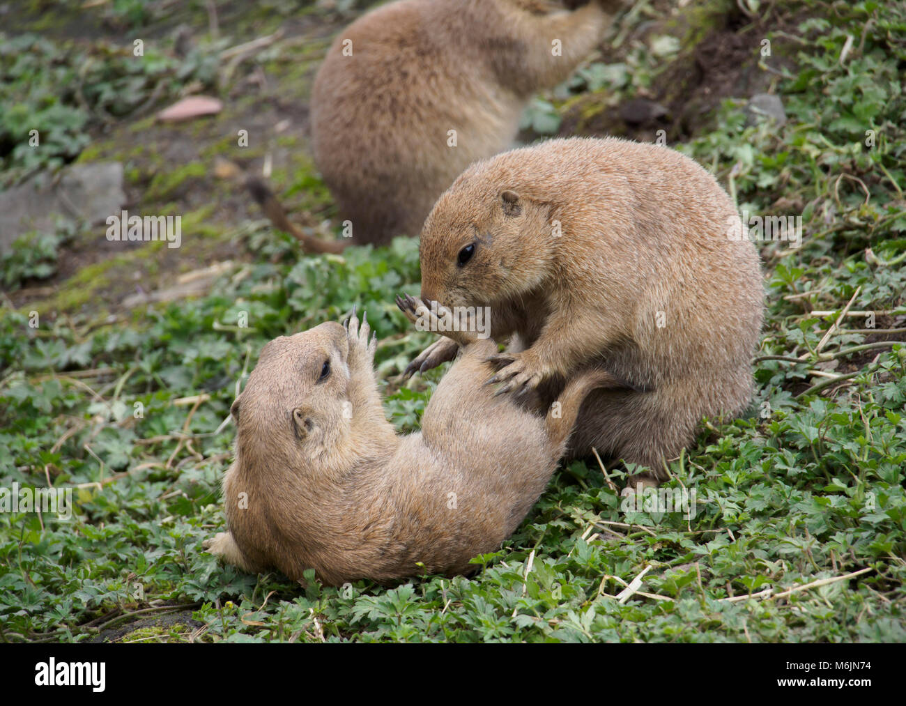 Scotland - Five Sisters Zoo, Polbeth, Livingston. Prairie dogs. - Stock Image