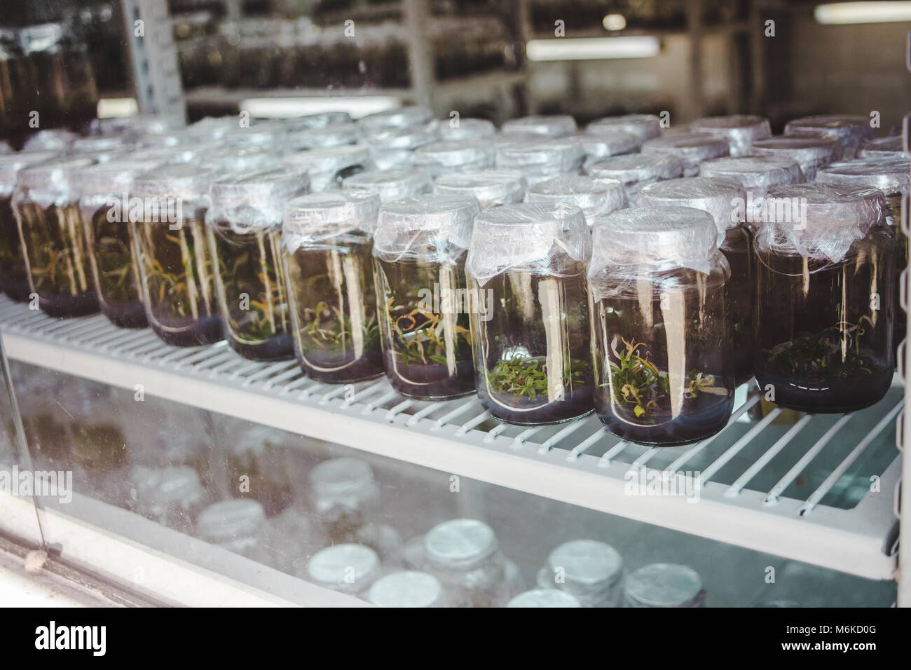 Plants being grown in a controlled light environment in glass jars as part of a scientific / biology experiment - Stock Image