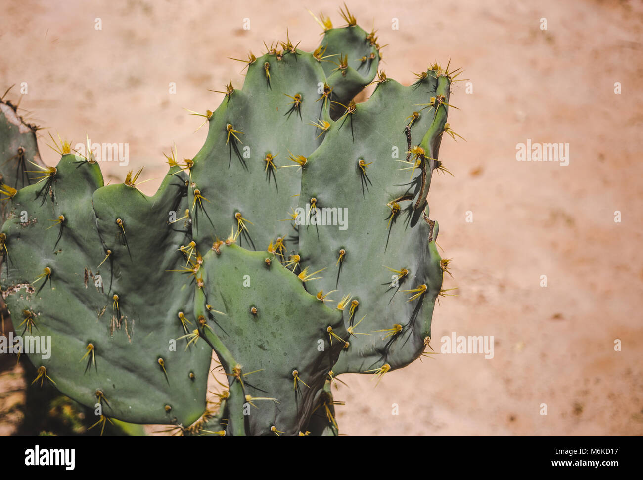 Green cactus with yellow spines in a desert - Stock Image