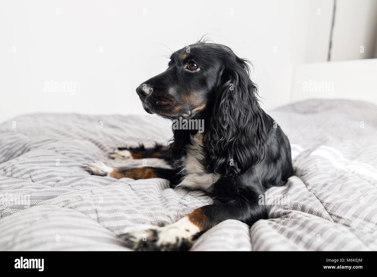 Black Spaniel dog on gray textile decorative coat and pillows for a scandinavian style bed in House or Hotel. Pets - Stock Image