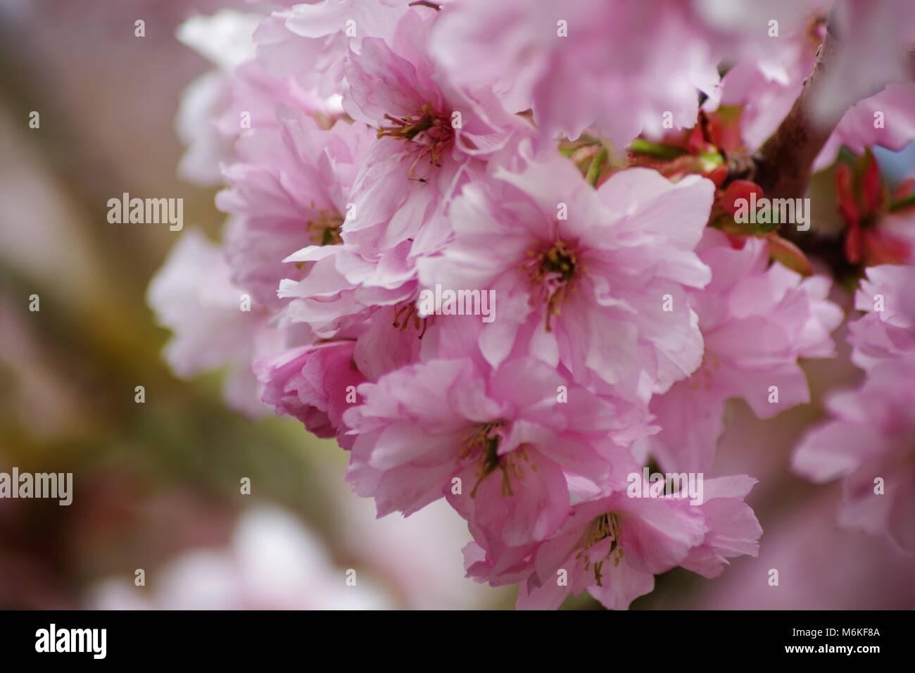 Pink Flowering Cherry Tree Blossom In An Aberdeen Garden Scotland