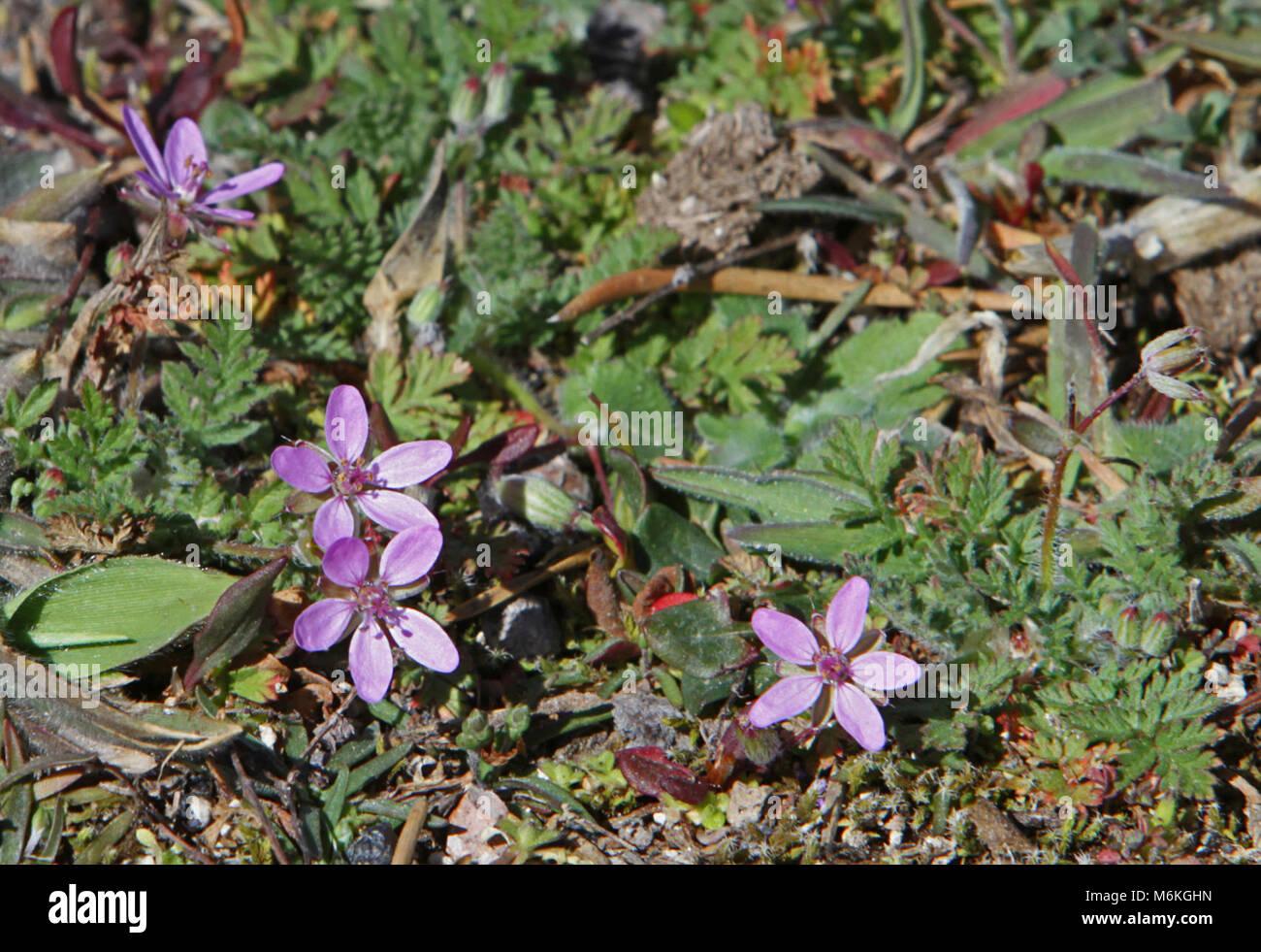 Erodium cicutarium or Crane's bill. Nonnative Erodium cicutarium or Crane's bill in Upper Geyser Basin; - Stock Image