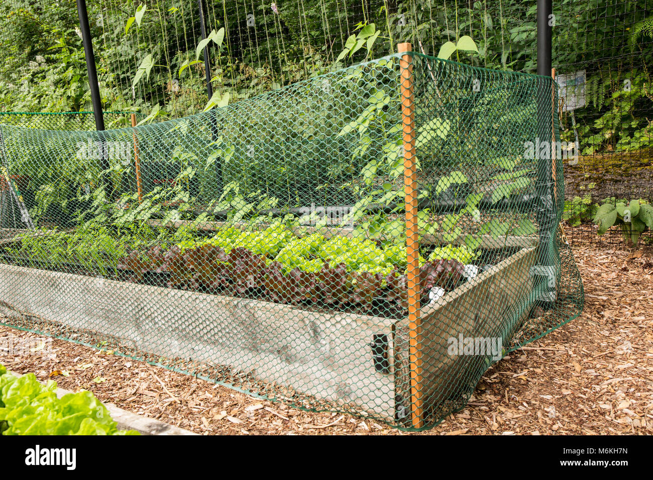 Removable plastic garden fence to deter rabbits from eating the lettuce and other plants in a community garden. - Stock Image