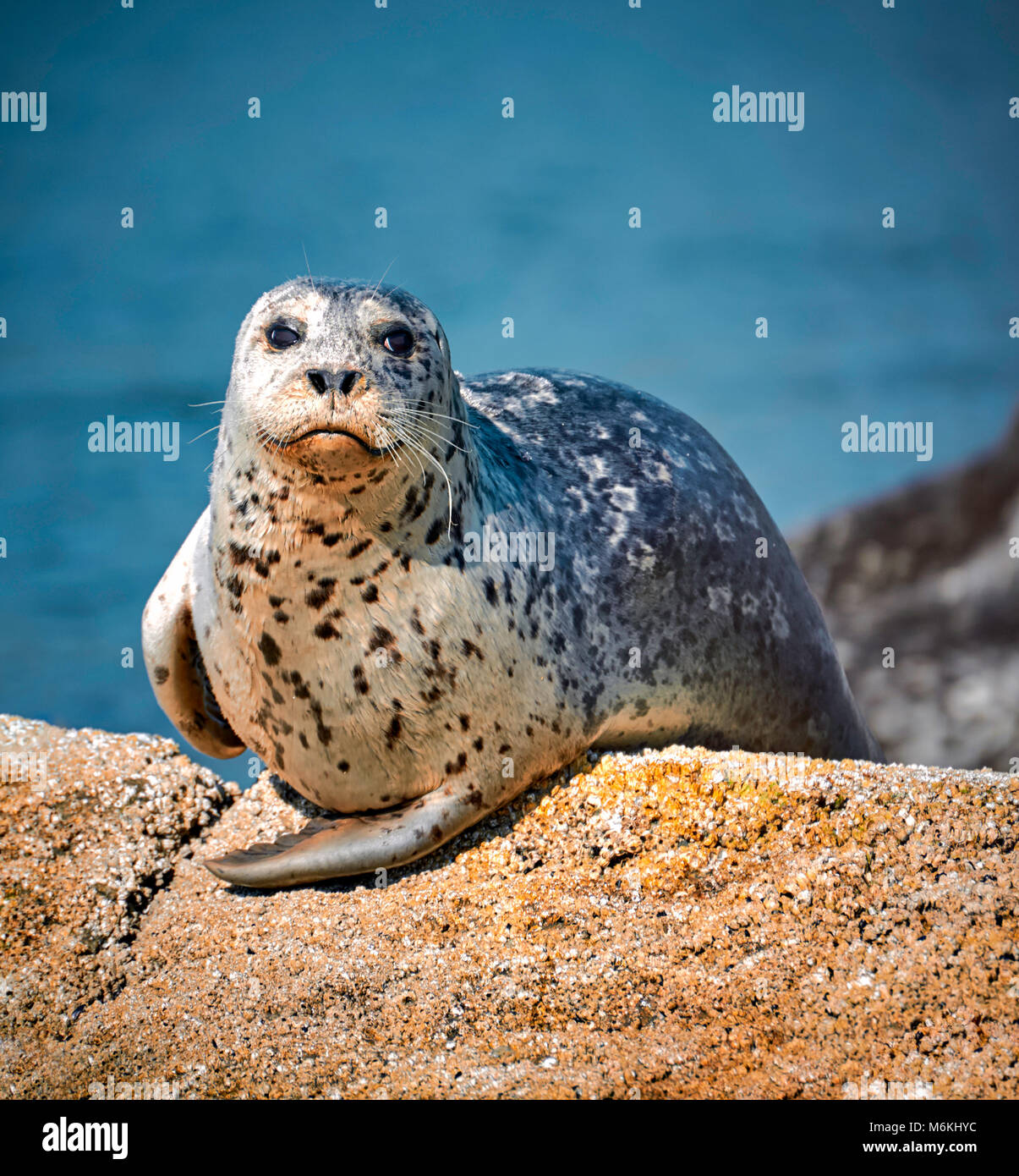 Seal relaxing on rocks near sea in hot sunny day - Stock Image
