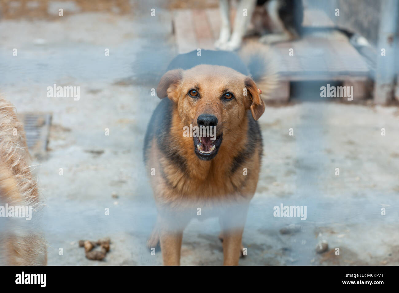 Homeless dog in a shelter cage. Dog growls - Stock Image