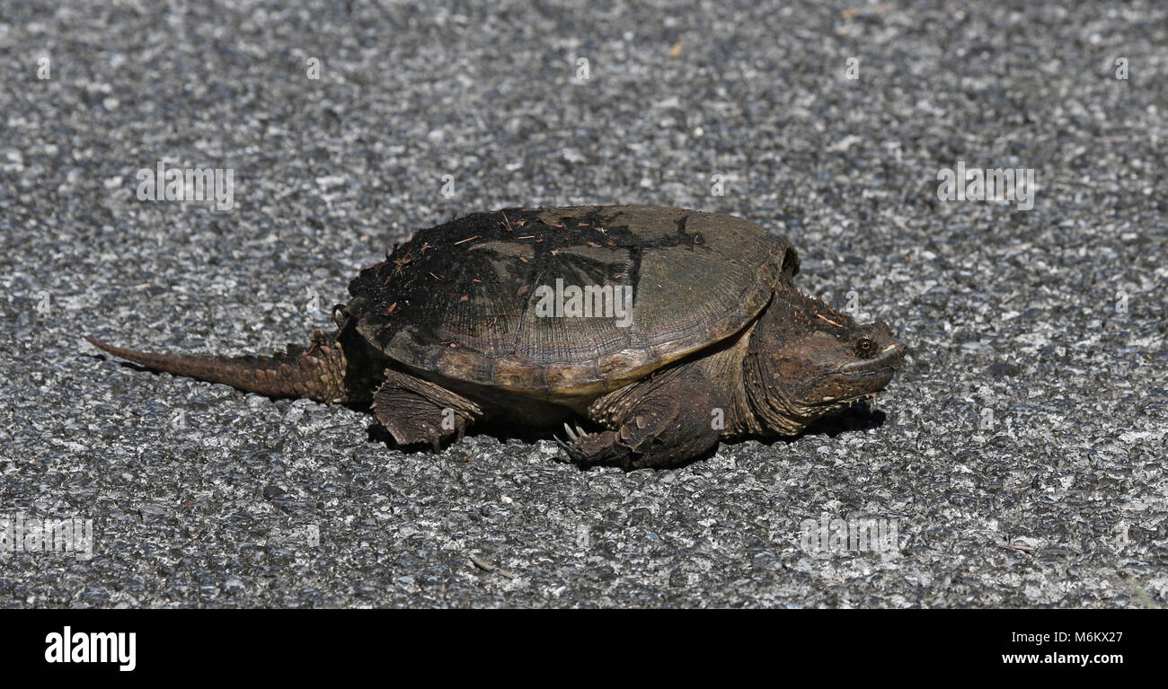 A Common Snapping Turtle (Chelydra serpentina) crossing the road in Everglades National Park, Florida. - Stock Image