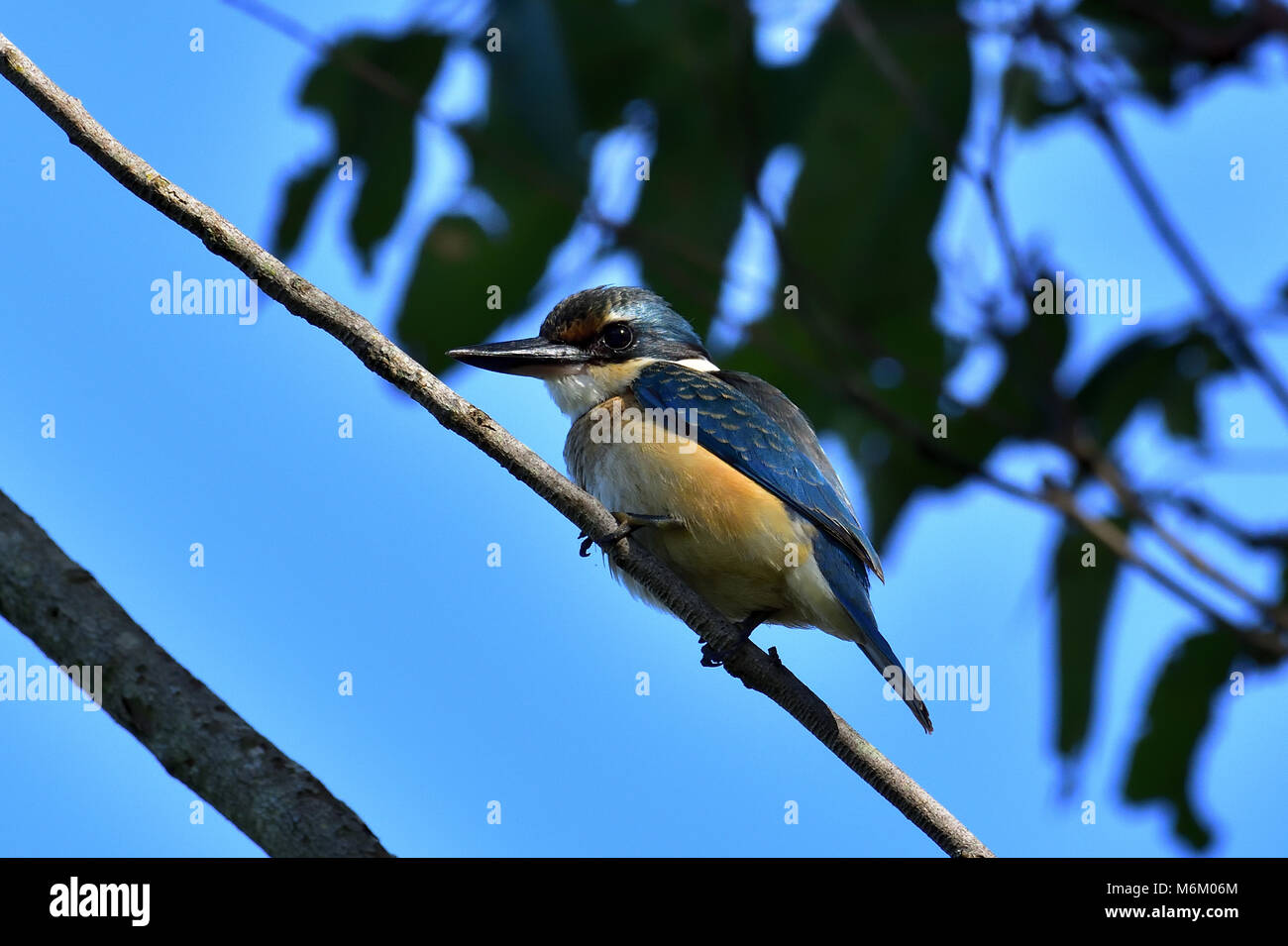 An Australian Immature Sacred Kingfisher resting on a Tree branch close-up - Stock Image