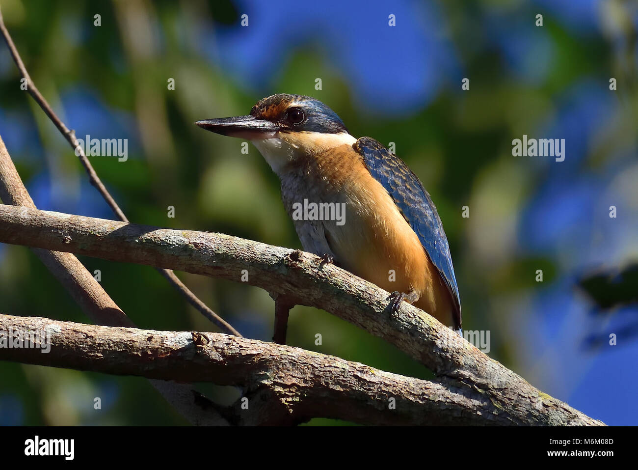 An Australian Immature Sacred Kingfisher resting on a Tree branch - Stock Image