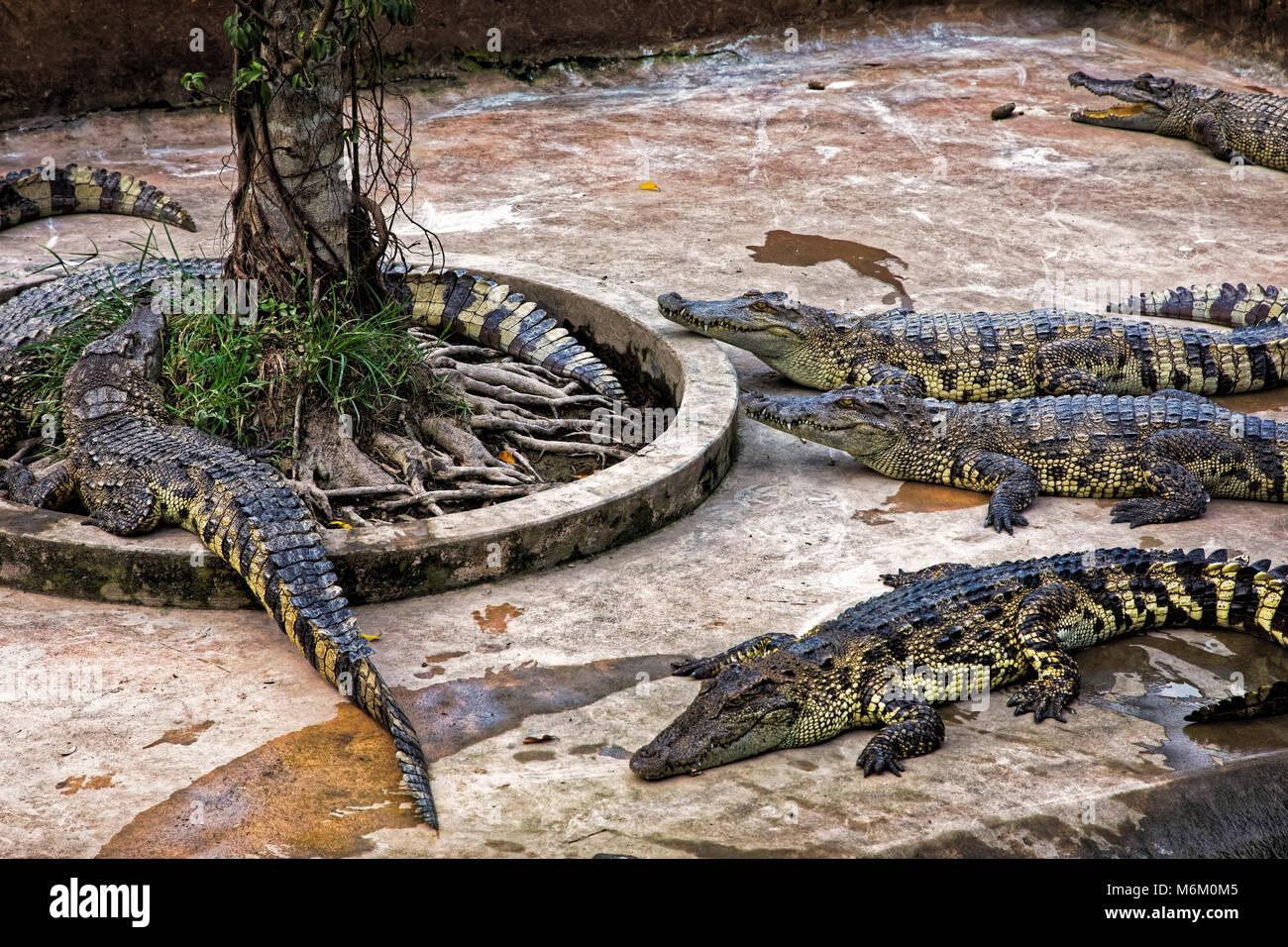 Siamese crocodiles Crocodylus siamensis in a crocodile farm  in the Mekong Delta, Vietnam - Stock Image