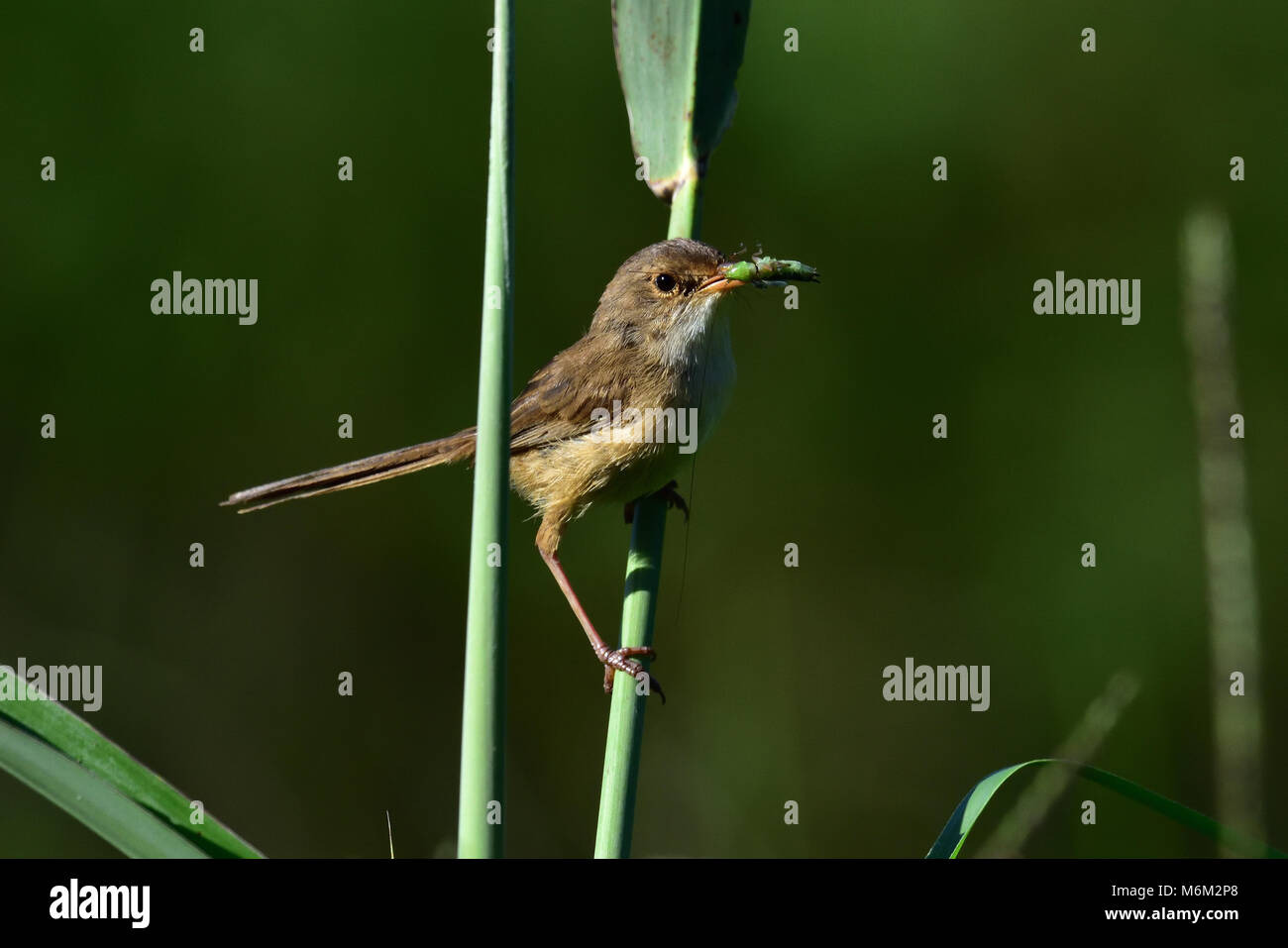 An Australian, Queensland Female Red-backed Fairy-wren with an Insect in its mouth Stock Photo
