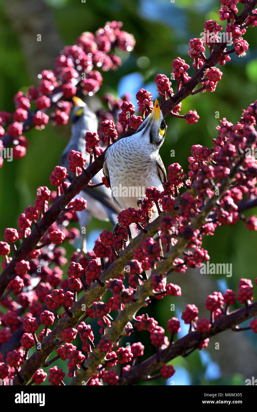 An Australian Noisy Miner stretching up for some Tree berries - Stock Image