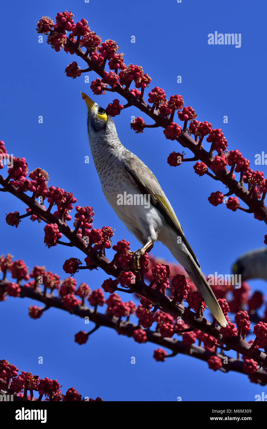 An Australian Noisy Miner stretching up for some Tree berries Stock Photo