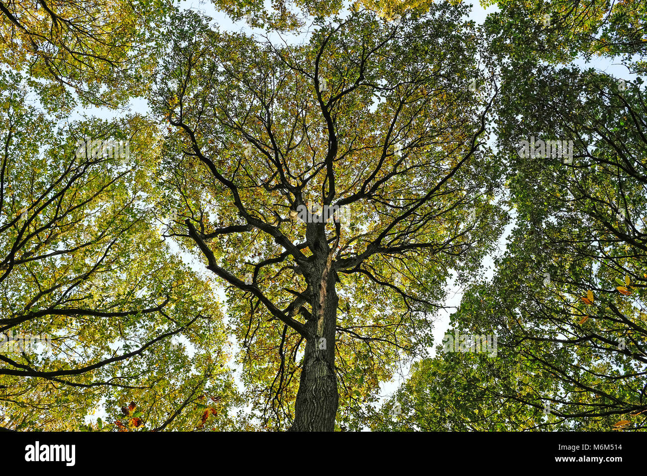 Tree canopy viewed from below - Stock Image