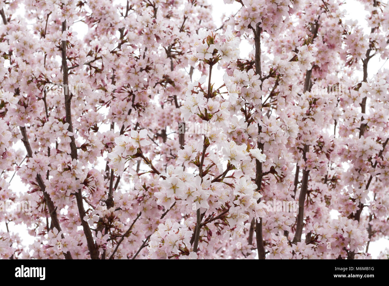 Pink airy japanese sakura or cherry blossom in spring. Soft, gentle, flower background. - Stock Image