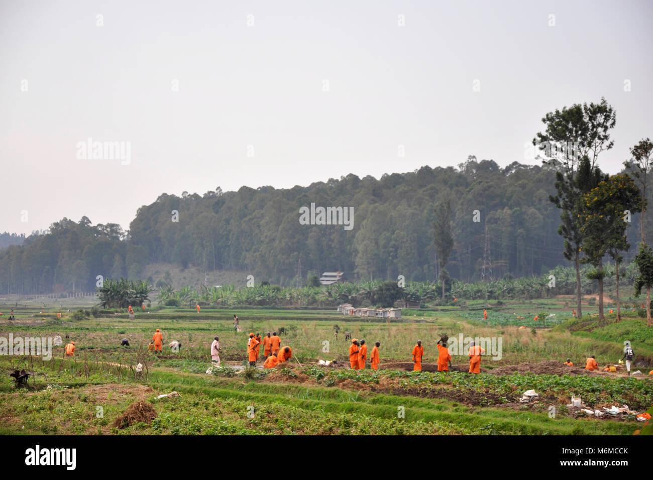 Rwanda, Butare, Prisoners working in rice field - Stock Image