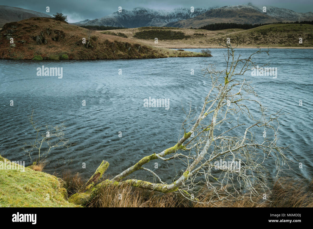 A lone tree juts into the water at Llyn Dywarchen in the Snowdonia National Park.A foreboding snow covered Mount - Stock Image