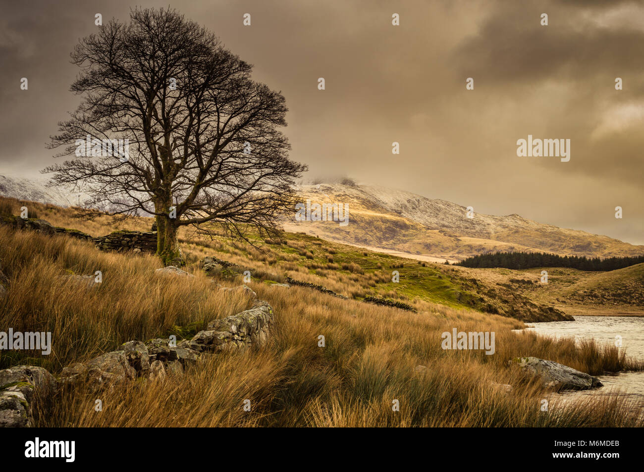 A lone tree by Llyn Dywarchen in the Snowdonia National Park, with a submerged fence and ruined wall. A foreboding - Stock Image