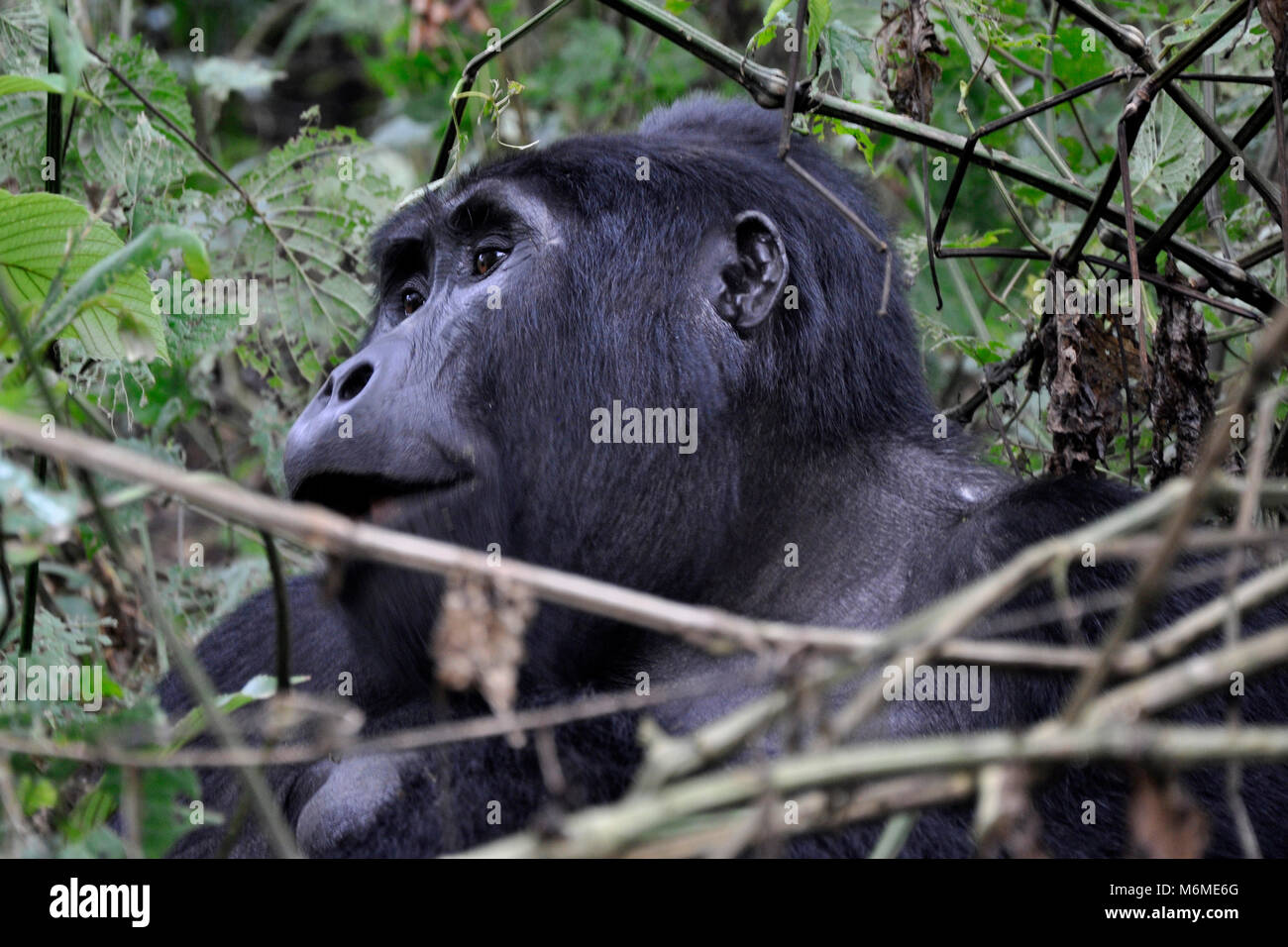 Uganda, Bwindi impenetrable forest, Mountain Gorillas - Stock Image