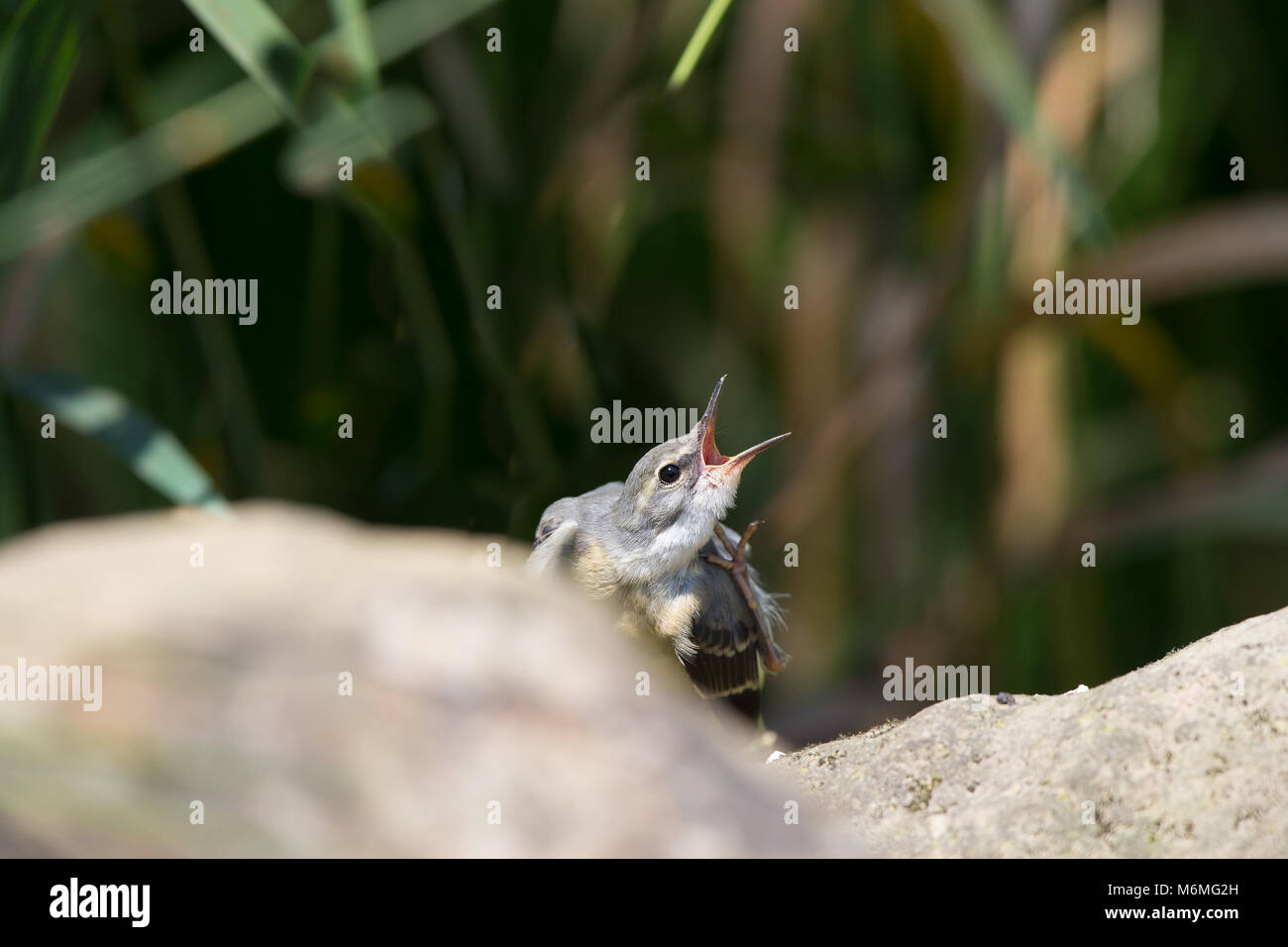 Landscape capture of juvenile grey wagtail (Mottacilla cinerea) calling to its parent. UK woodland habitat. - Stock Image