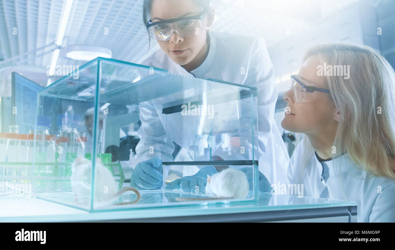Two Female Medical Research Scientists Examine Laboratory Mice Kept in a Glass Cage. They Work in a Bright Modern - Stock Image