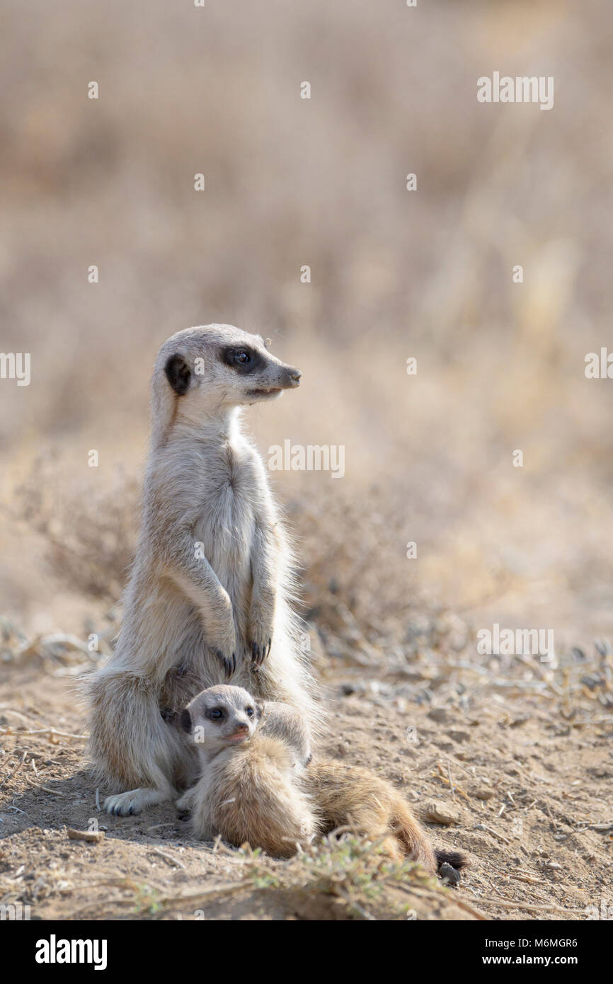 Meerkats (Suricata suricatta) adult and two juveniles, watching around, Mountain Zebra National Park, South Africa - Stock Image