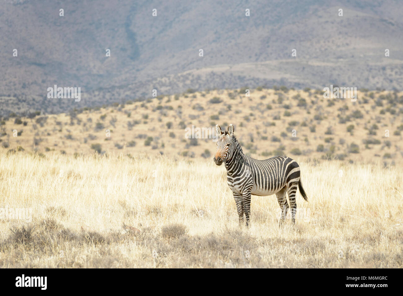 Mountain Zebra (Equus zebra), Mountain Zebra National Park, South Africa - Stock Image