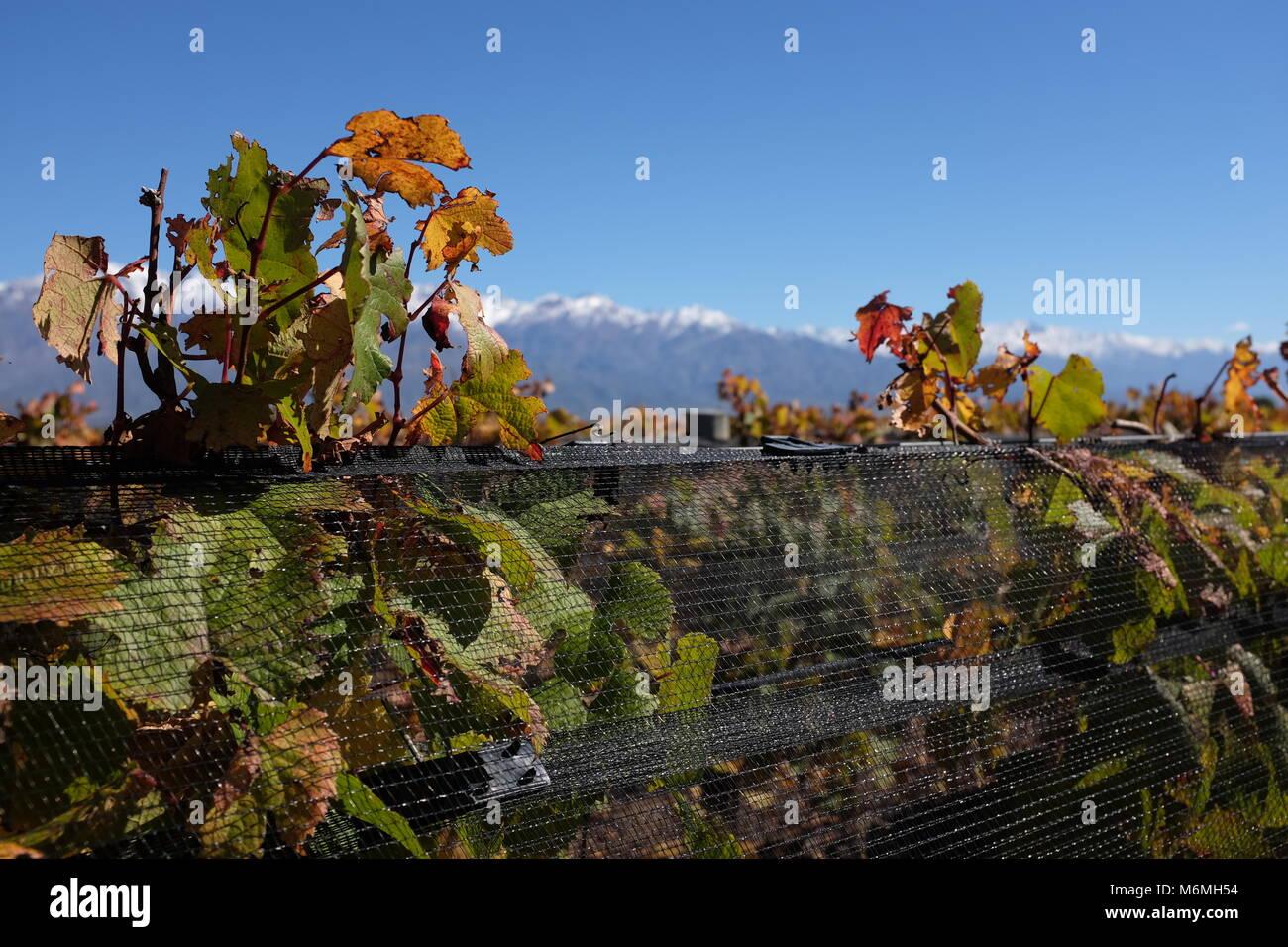 Vines in Argentina in autumn - Stock Image