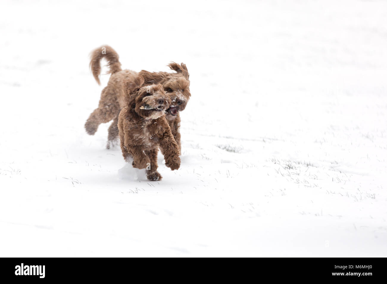 Two chocolate cockerpoos playing chase with a stick in the snow. Space for your text. - Stock Image