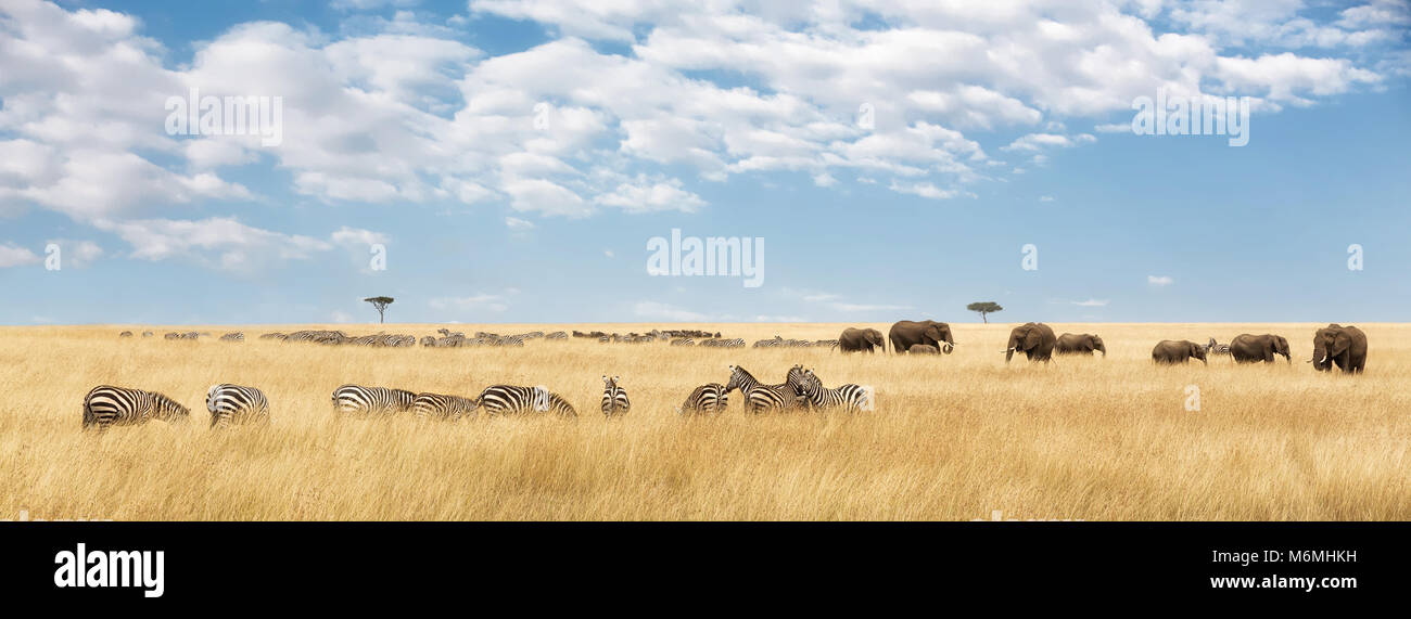 Elephants herd and migrating zebra  in the Masai Mara. Panorama in popular social media banner dimensions - Stock Image
