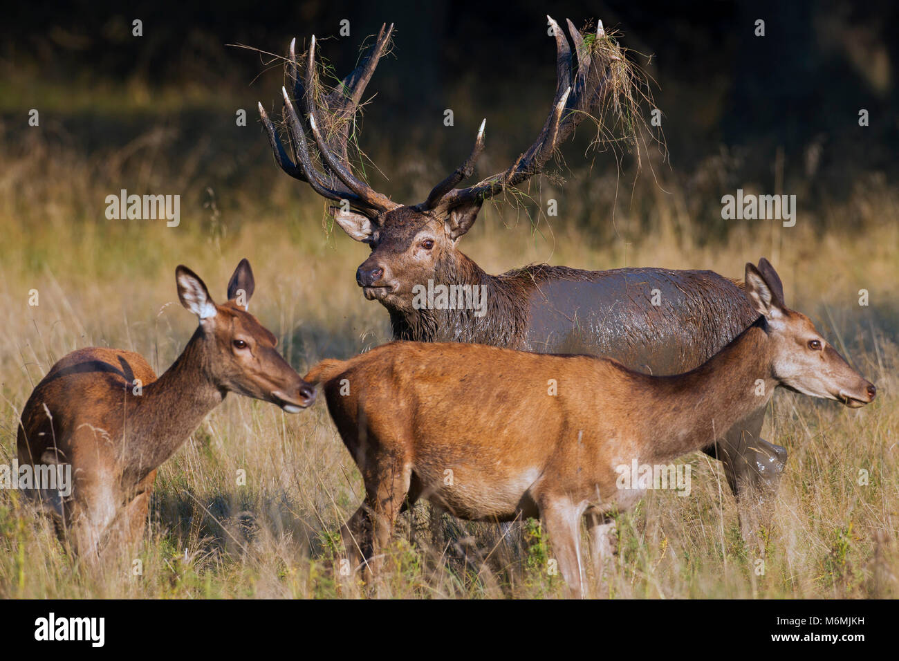 Red deer (Cervus elaphus) hinds and stag with antlers covered in mud and vegetation during the rut in autumn forest - Stock Image