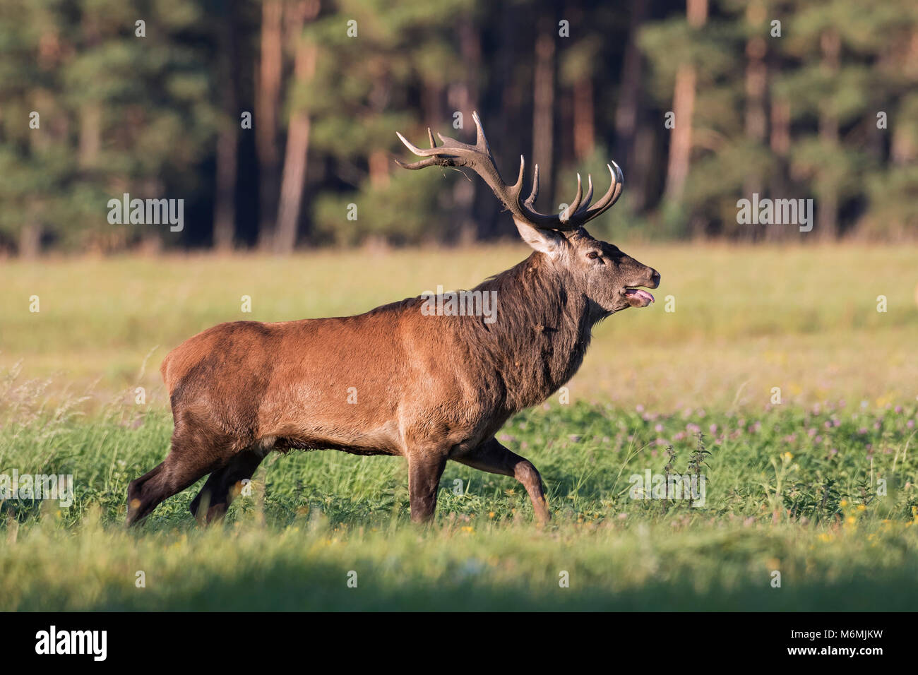 Red deer (Cervus elaphus) stag in field at forest 's edge checking out does / females in heat by flicking tongue - Stock Image