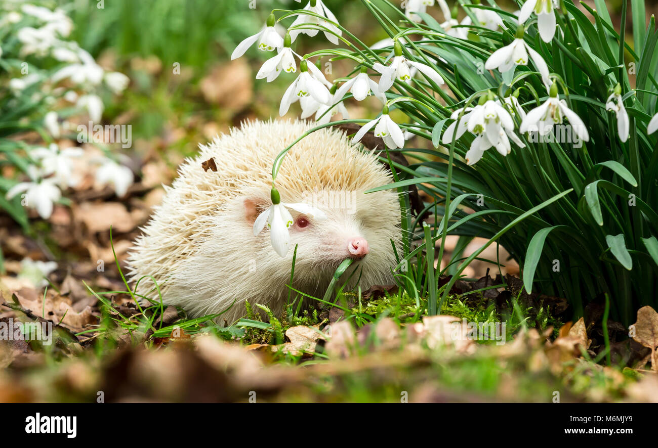 Wild, native European Albino hedgehog.  A True albino with pink eyes and nose in snowdrops.  Hedgehogs emerge from Stock Photo