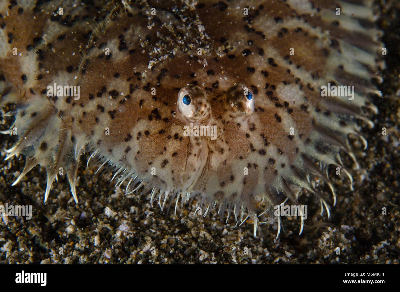 Blackspotted Sole, Mottled sole, Aseraggodes melanostictus, Soleidae, Anilao, Philippines, Asia - Stock Image