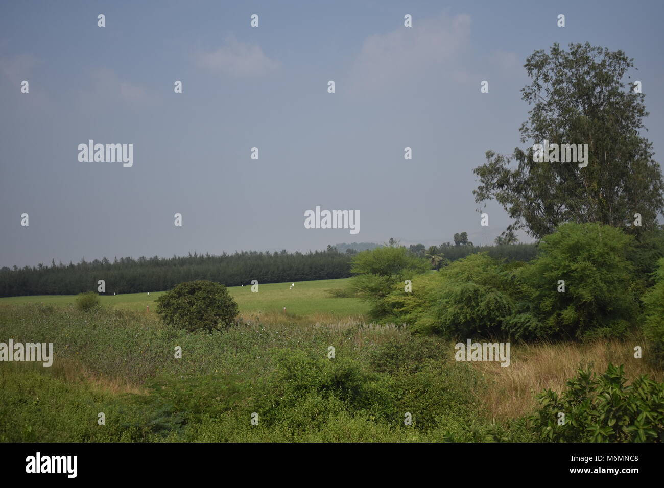 paddy farming in land with casuarina & coconut trees looking very nice. - Stock Image
