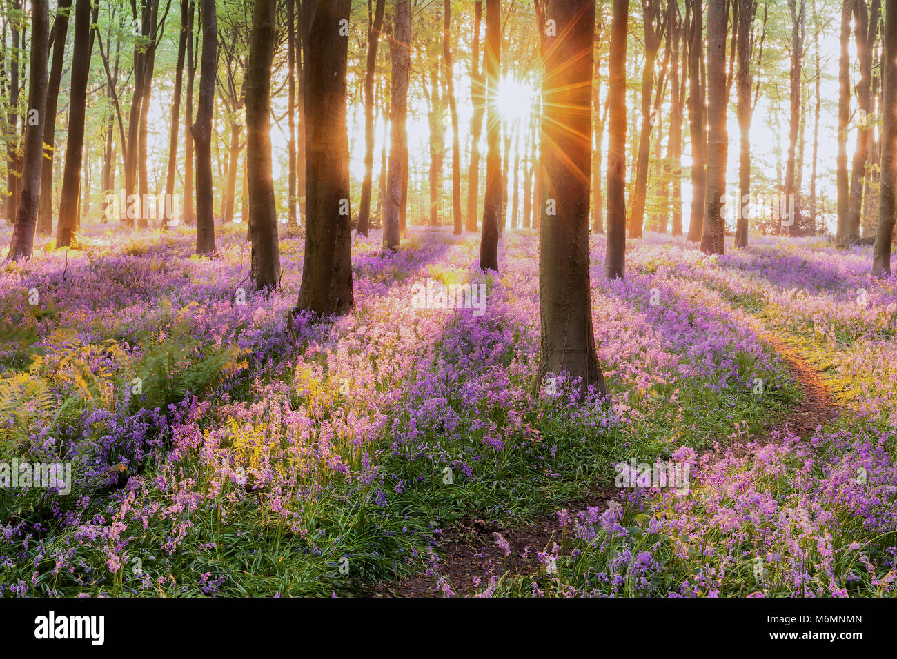 Sunrise In Forest With Bluebells Stock Photos Sunrise In Forest