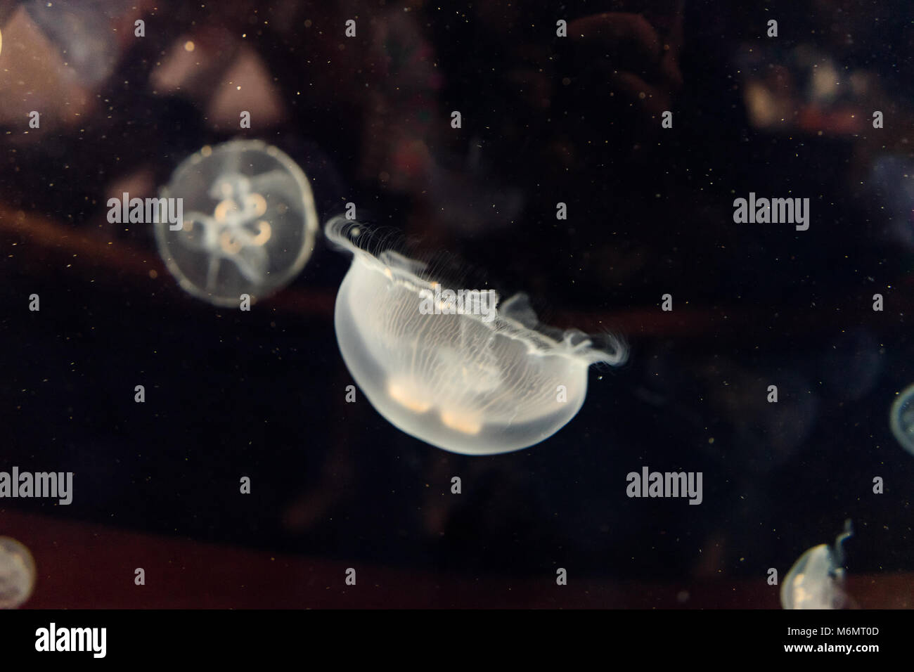 White jellyfish in Valencia aquarium, Spain, Europe - Stock Image