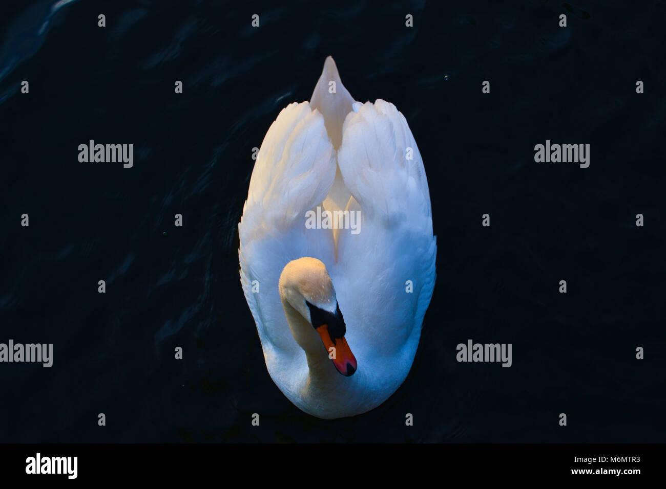 White Swan Swimming Swan in Breda, Netherlands - Stock Image