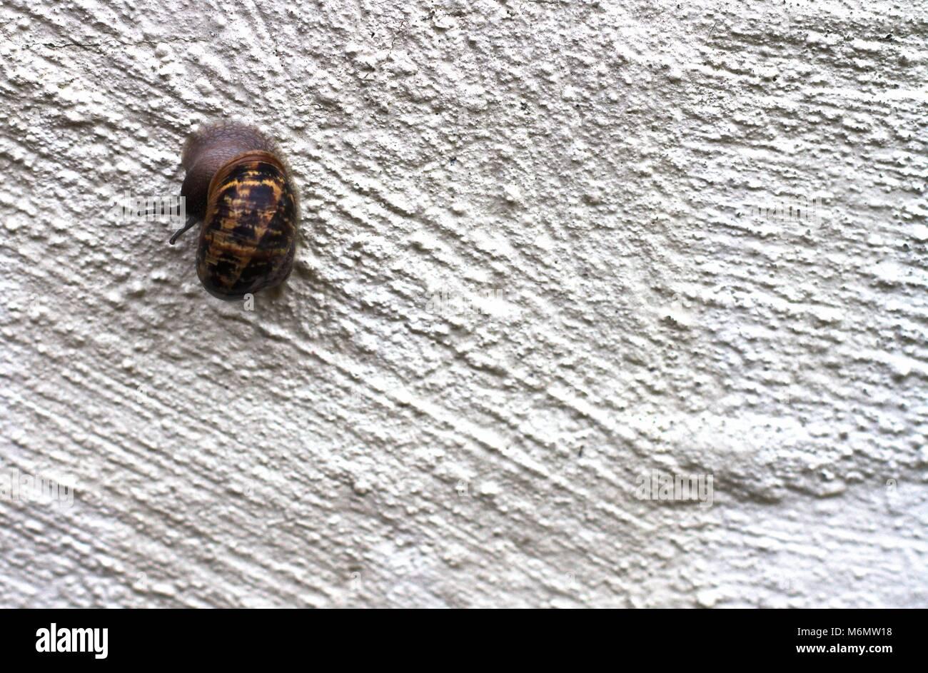 Garden snail climbing up rough white wall. Stock Photo