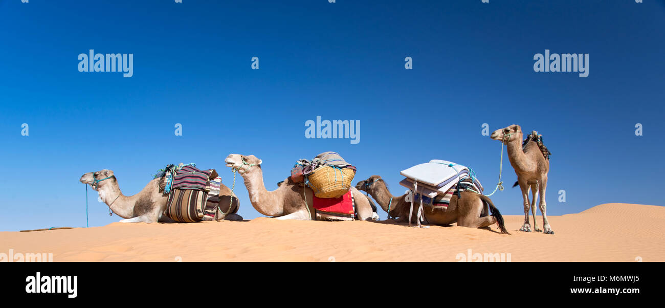 Panorama of camels in the Sand dunes desert of Sahara, South Tunisia - Stock Image