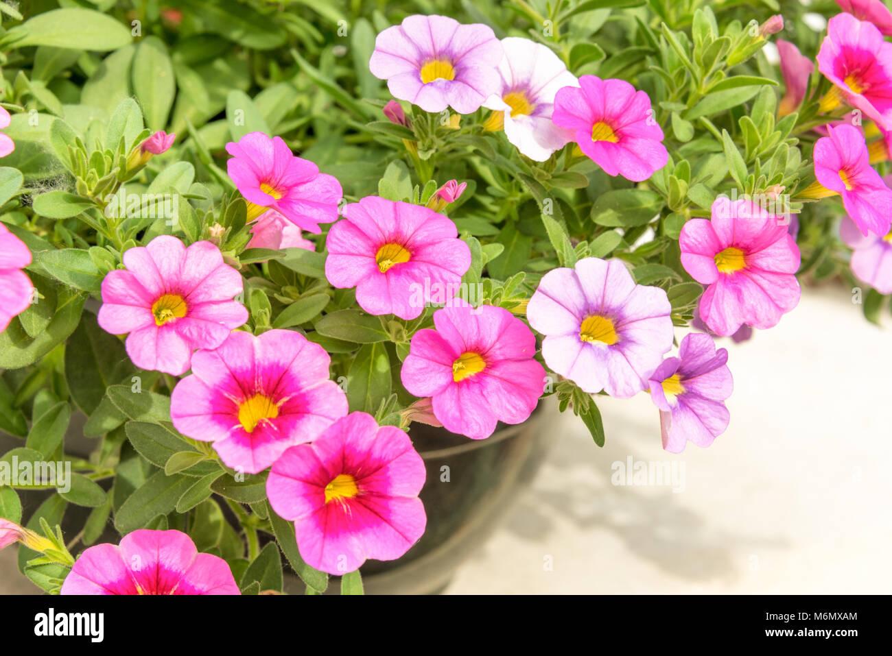 Close Up Of Petunia Flowers Stock Photos & Close Up Of Petunia ...