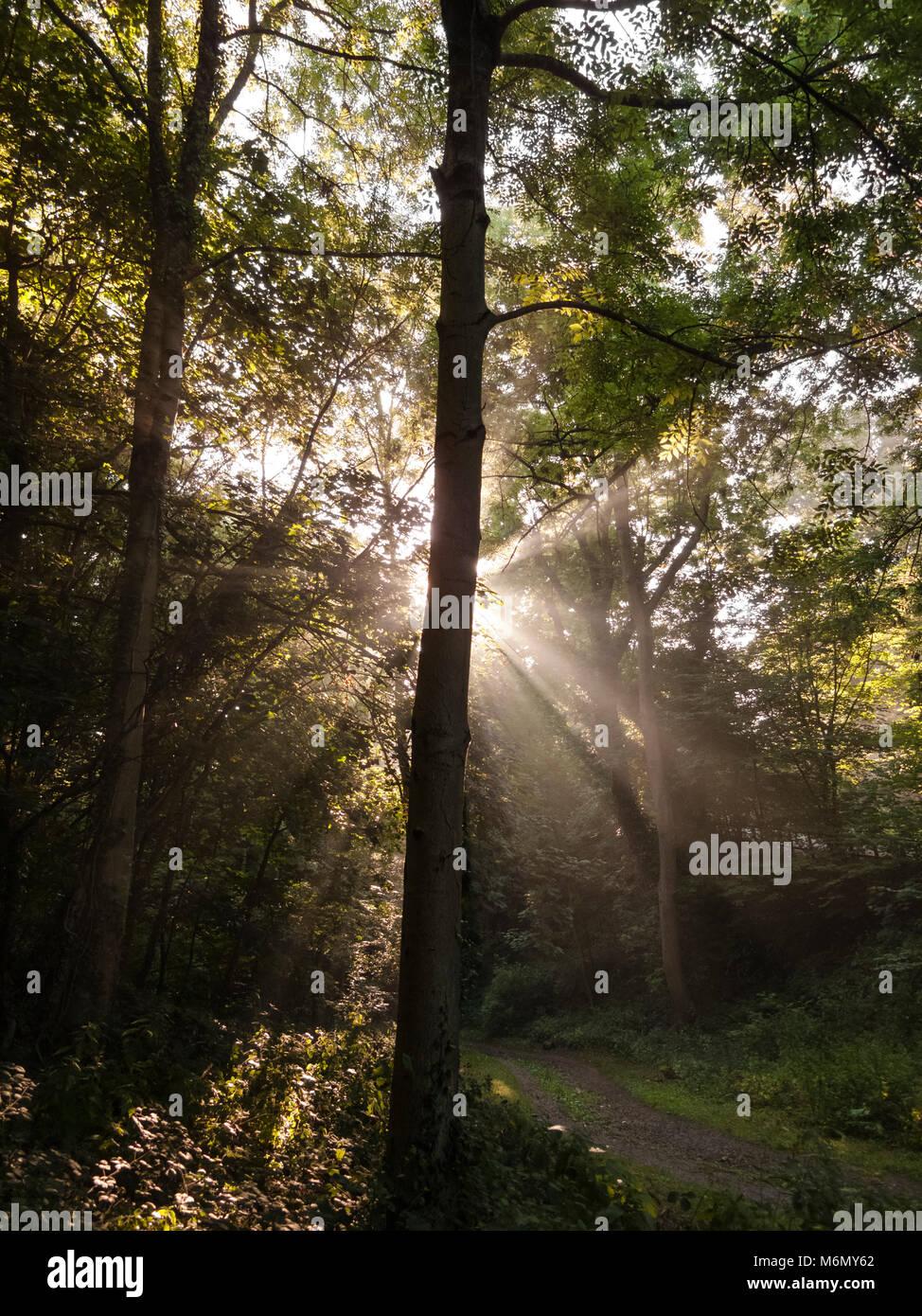 Early morning sunbeams through trees Stock Photo