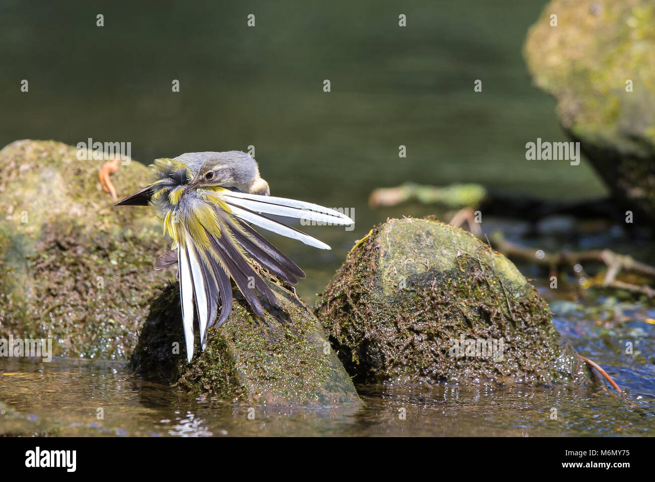Detailed, landscape close up of wild, juvenile grey wagtail (Mottacilla cinerea) fanning out tail feathers & - Stock Image