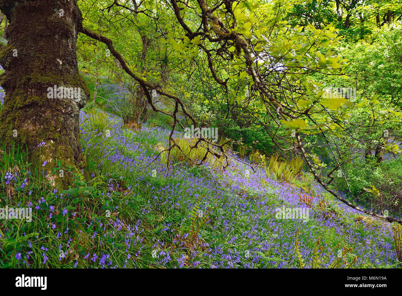 Forest of Paimpont, also known as the Forest of Broceliande: Hyacinths in the undergrowth - Stock Image